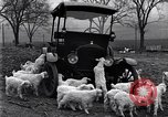 Image of lambs United States USA, 1919, second 10 stock footage video 65675030175