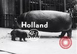 Image of hippopotamus Amsterdam Netherlands, 1954, second 3 stock footage video 65675030296