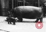 Image of hippopotamus Amsterdam Netherlands, 1954, second 4 stock footage video 65675030296