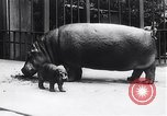 Image of hippopotamus Amsterdam Netherlands, 1954, second 5 stock footage video 65675030296