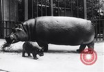Image of hippopotamus Amsterdam Netherlands, 1954, second 6 stock footage video 65675030296