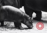 Image of hippopotamus Amsterdam Netherlands, 1954, second 8 stock footage video 65675030296