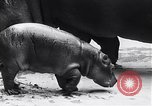 Image of hippopotamus Amsterdam Netherlands, 1954, second 9 stock footage video 65675030296