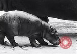 Image of hippopotamus Amsterdam Netherlands, 1954, second 10 stock footage video 65675030296
