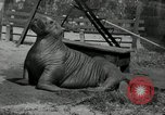 Image of walrus from Alaska San Diego California USA, 1932, second 7 stock footage video 65675030533