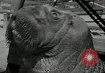 Image of walrus from Alaska San Diego California USA, 1932, second 10 stock footage video 65675030533