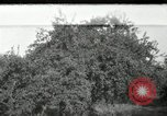 Image of apple orchards United States USA, 1916, second 1 stock footage video 65675030537