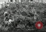 Image of apple orchards United States USA, 1916, second 11 stock footage video 65675030537