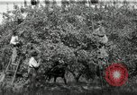 Image of apple orchards United States USA, 1916, second 12 stock footage video 65675030537