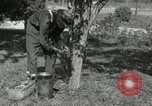 Image of apple grafting techniques United States USA, 1916, second 4 stock footage video 65675030538