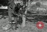 Image of apple grafting techniques United States USA, 1916, second 5 stock footage video 65675030538
