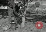 Image of apple grafting techniques United States USA, 1916, second 6 stock footage video 65675030538