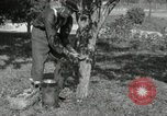 Image of apple grafting techniques United States USA, 1916, second 7 stock footage video 65675030538