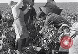 Image of grape harvest France, 1931, second 11 stock footage video 65675031149