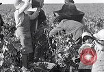 Image of grape harvest France, 1931, second 12 stock footage video 65675031149