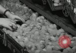 Image of chicken hatched New Brunswick New Jersey USA, 1941, second 10 stock footage video 65675032025
