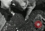 Image of barnyard of pigs United States USA, 1950, second 2 stock footage video 65675032166