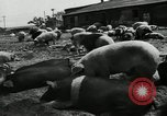 Image of barnyard of pigs United States USA, 1950, second 6 stock footage video 65675032166