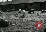 Image of barnyard of pigs United States USA, 1950, second 10 stock footage video 65675032166