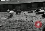 Image of barnyard of pigs United States USA, 1950, second 11 stock footage video 65675032166