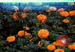 Image of Marigolds in bloom Washington DC USA, 1974, second 1 stock footage video 65675032288