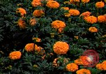 Image of Marigolds in bloom Washington DC USA, 1974, second 2 stock footage video 65675032288