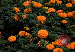 Image of Marigolds in bloom Washington DC USA, 1974, second 5 stock footage video 65675032288