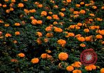 Image of Marigolds in bloom Washington DC USA, 1974, second 6 stock footage video 65675032288