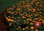 Image of Marigolds in bloom Washington DC USA, 1974, second 7 stock footage video 65675032288