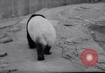 Image of giant panda United Kingdom, 1966, second 6 stock footage video 65675032843