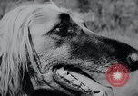 Image of The Afghan Hound Hamburg Germany, 1965, second 6 stock footage video 65675033541