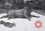 Image of Chesapeake Retriever Palo Alto California USA, 1938, second 8 stock footage video 65675033908