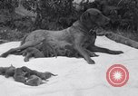 Image of Chesapeake Retriever Palo Alto California USA, 1938, second 9 stock footage video 65675033908