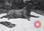Image of Chesapeake Retriever Palo Alto California USA, 1938, second 11 stock footage video 65675033908