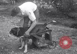 Image of paralyzed dog Randolph Massachusetts USA, 1938, second 8 stock footage video 65675033914