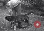 Image of paralyzed dog Randolph Massachusetts USA, 1938, second 9 stock footage video 65675033914