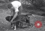 Image of paralyzed dog Randolph Massachusetts USA, 1938, second 10 stock footage video 65675033914