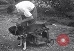 Image of paralyzed dog Randolph Massachusetts USA, 1938, second 11 stock footage video 65675033914