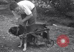 Image of paralyzed dog Randolph Massachusetts USA, 1938, second 12 stock footage video 65675033914