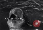 Image of pilot whale Bubble Palos Verdes California USA, 1958, second 8 stock footage video 65675035447