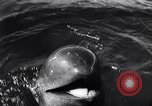 Image of pilot whale Bubble Palos Verdes California USA, 1958, second 12 stock footage video 65675035447