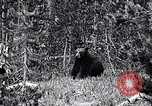 Image of bear New York United States USA, 1916, second 4 stock footage video 65675035671