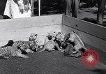 Image of infant cubs San Francisco California USA, 1933, second 12 stock footage video 65675037110