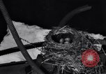 Image of Robin's nest Chicago Heights Illinois USA, 1933, second 12 stock footage video 65675037114