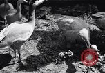 Image of bird sanctuary Germany, 1938, second 12 stock footage video 65675037226
