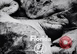 Image of turtles Florida United States USA, 1951, second 3 stock footage video 65675037431