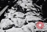Image of turtles Florida United States USA, 1951, second 10 stock footage video 65675037431