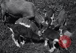 Image of goat kids United States USA, 1936, second 9 stock footage video 65675038319