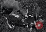 Image of goat kids United States USA, 1936, second 10 stock footage video 65675038319