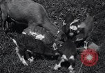 Image of goat kids United States USA, 1936, second 11 stock footage video 65675038319